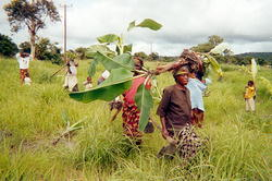 Village women transplanting banana trees into groves near their village.
